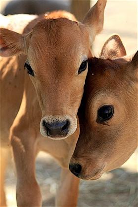 colostrum benefits, raw colostrum, health benefits of colostrum, bovine colostrum, antiaging food