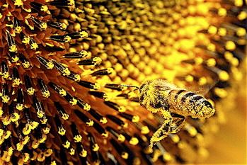 bee pollen benefits, bee pollen granules, bee pollen longevity, bee pollen facts, bee pollen studies
