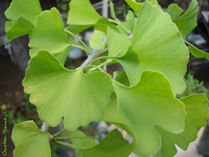 benefits of ginkgo biloba, adaptogenic herbs, herbal adaptogens,