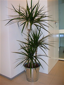 clean air plants, oxygen producing plants, air cleaning plants, air purifying plants