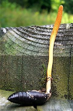 cordyceps militaris, cordyceps fungus, buy cordyceps, adaptogenic herbs, cordyceps side effects