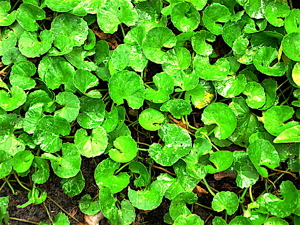 These gotu kola facts reveal how powerful this herbal