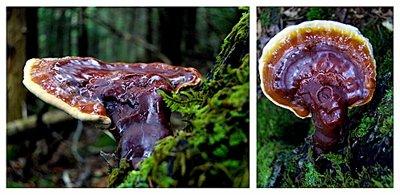 benefits of reishi mushrooms, reishi supplements, reishi mushroom benefits, ganoderma mushroom, benefits of medicinal mushrooms